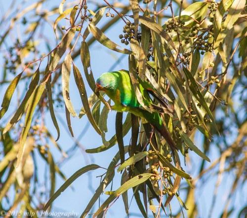 Swift Parrots,