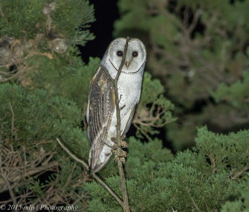 Barn Owl,  Western Treatment Plant