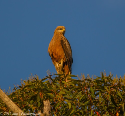 Black Kite, Western Treatment Plant, Victoria
