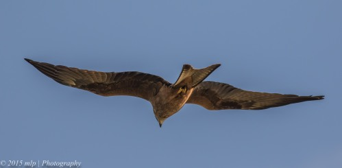 Black Kite, Western Treatment Plant