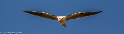 Black Shouldered Kite,  Western Treatment Plant
