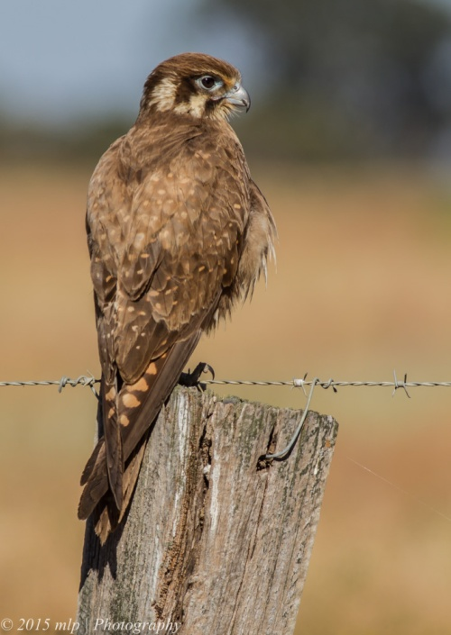 Brown Falcon, Western Treatment Plant