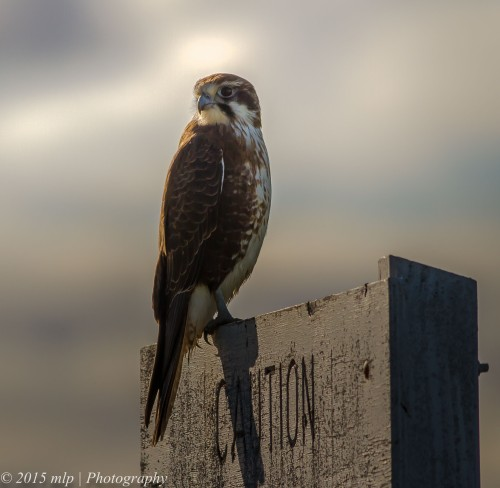 Brown Falcon - Falco Berigora, Western Treatment Plant.