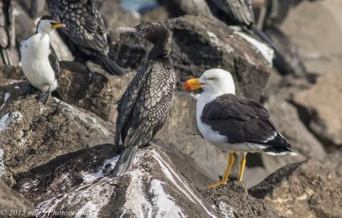 Cormorants and Gull