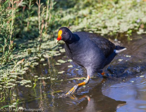 Dusky Moorhen, Pencil Park, Keysborough,