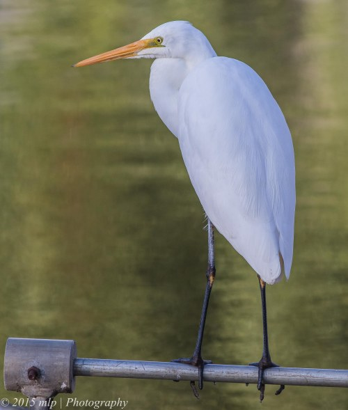 Great Egret, Elster Creek