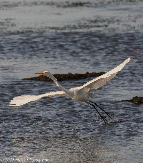 Great Egret,