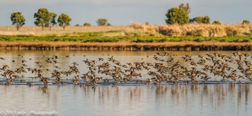 Pink Eared Ducks,  Western Treatment Plant