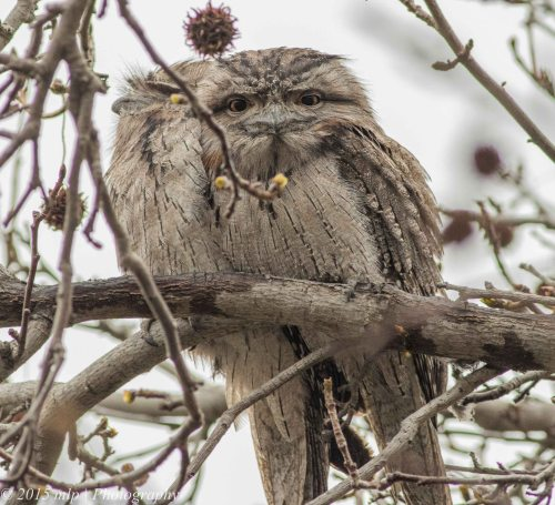 Tawny Frogmouths, Elwood