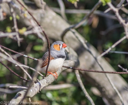 Zebra Finch, Western Treatment Plant,