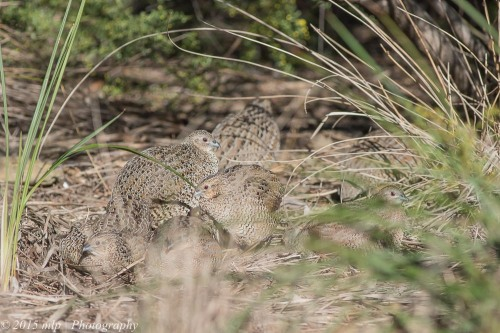 Brown Quail, Jawbone Flora and Fauna Reserve