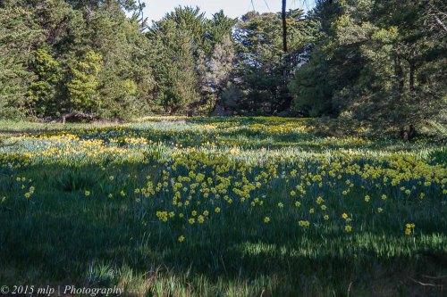 Daffodil Field, Moorooduc