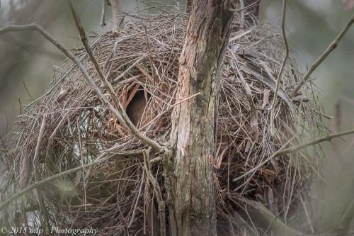 Drey, Cranbourne Botanical Gardens