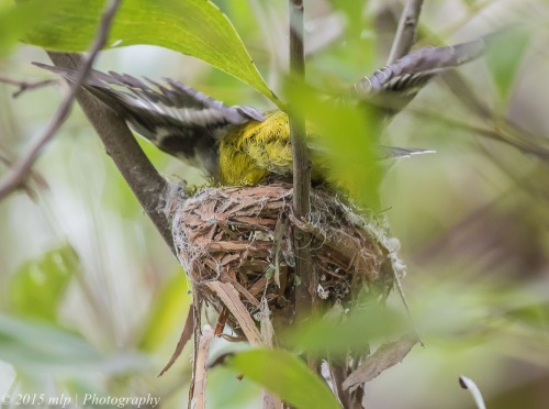Eastern Yellow Robin building a nest