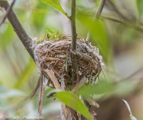 Eastern Yellow Robin nest