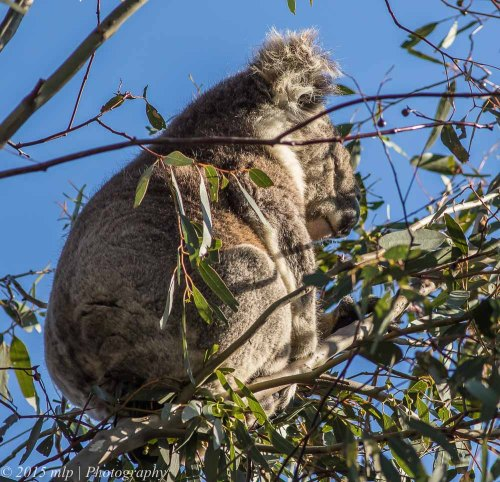 Koala, You Yangs Regional Park