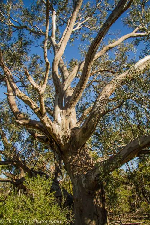 Large Gum Tree, You Yangs Regional Park, Victoria