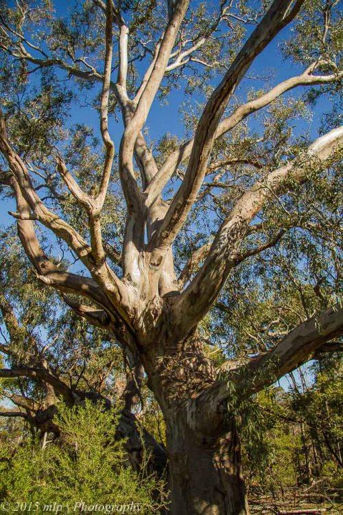 Large Gum Tree, You Yangs Regional Park, Victoria
