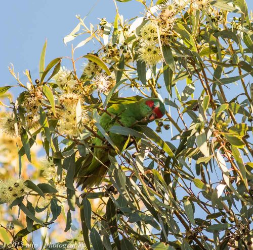 Musk Lorikeet, You Yangs Regional Park