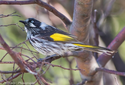 New Holland Honeyeater, Jawbone Flora and Fauna Reserve