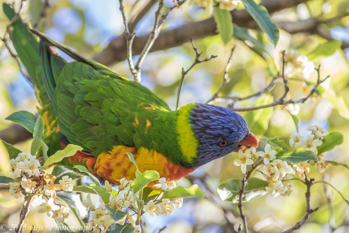 Rainbow Lorikeet, Elster Creek, Elwood