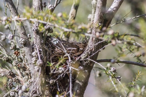 Robin's nest, Cranbourne Botanical Gardens,