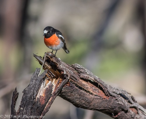 Scarlet Robin, You Yangs Regional Park