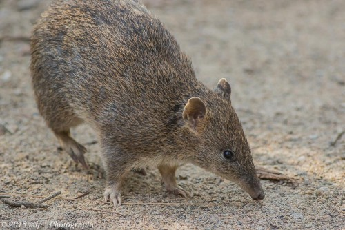 Southern Brown Bandicoot, Cranbourne Botanical Gardens