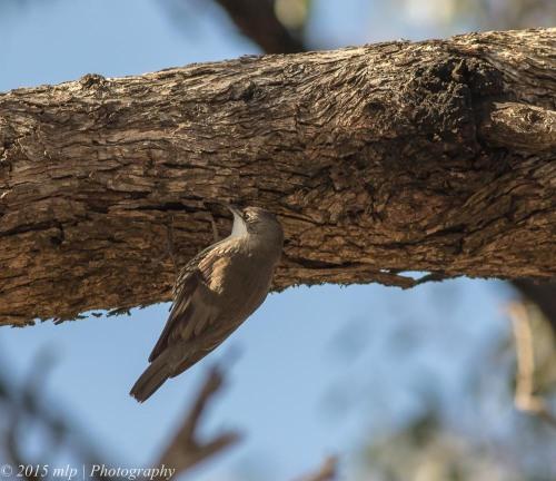 White Throated Treecreeper, You Yangs Regional Park