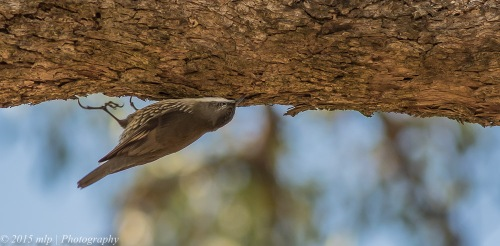 White Throated Treecreeper, You Yangs Regional Park