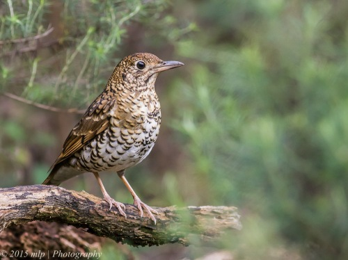 Bassian Thrush, Moorooduc Quarry