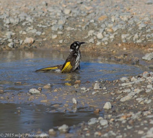 Bathing New Holland Honeyeater VI, Cranbourne Botanical Gardens,