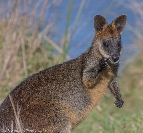 Black Wallaby, Cranbourne Botanical Gardens