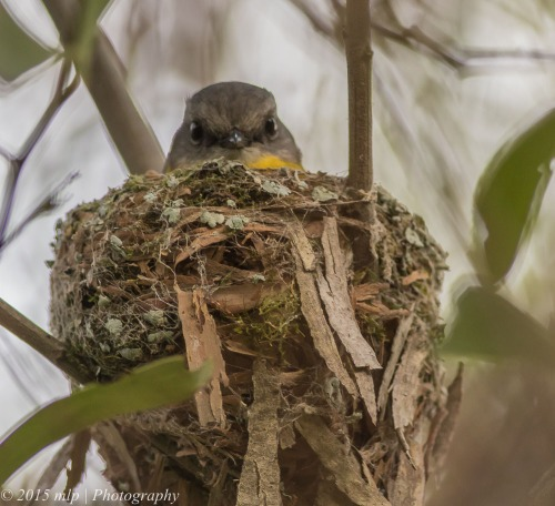 Brooding Eastern Yellow Robin II, Moorooduc Quarry Flora and Fauna Reserve