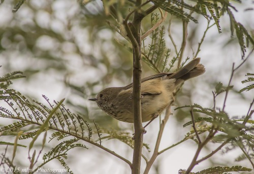 Brown Thornbill, Moorooduc Quarry Flora and Fauna Reserve