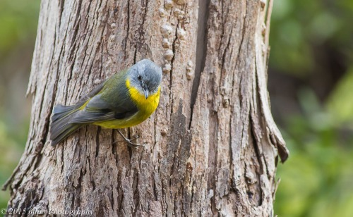 Eastern Yellow Robin, Moorooduc Quarry