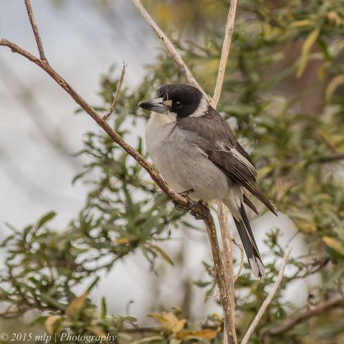 Grey Butcherbird, Moorooduc Quarry