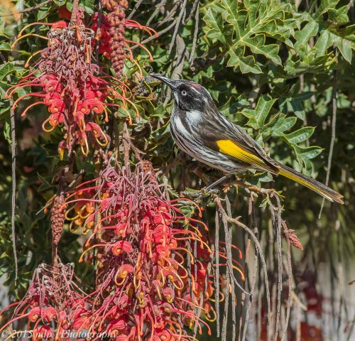 New Holland Honeyeater, Cranbourne Botanical Gardens,