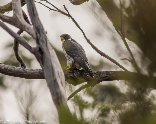Peregrine Falcon, Moorooduc Quarry Flora and Fauna Reserve