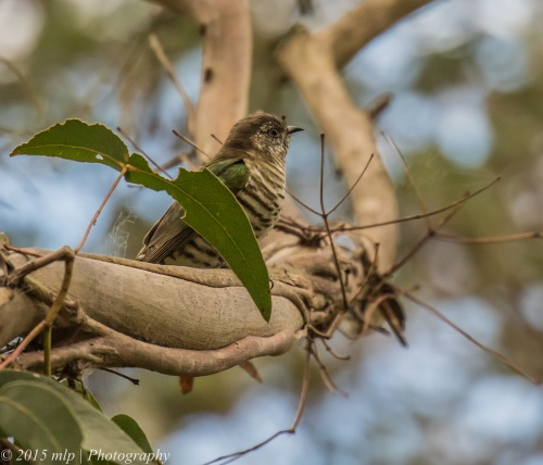 Shining Bronze Cuckoo, Coolart Wetlands