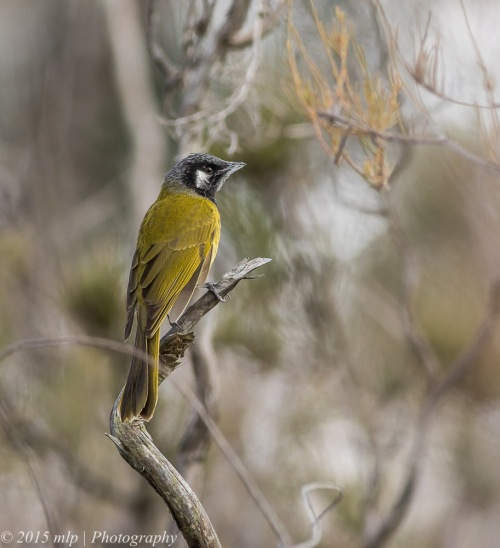 White Eared Honeyeater, Cranbourne Botanical Gardens