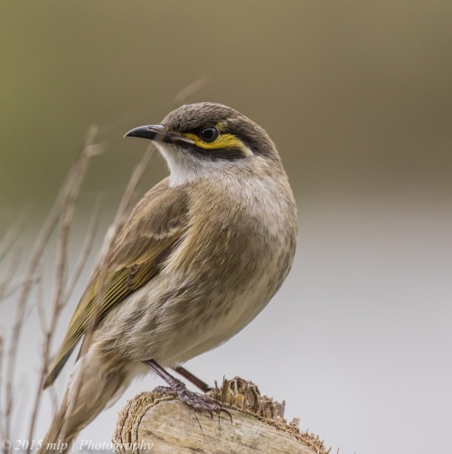 Yellow Faced Honeyeater Coolart Wetlands