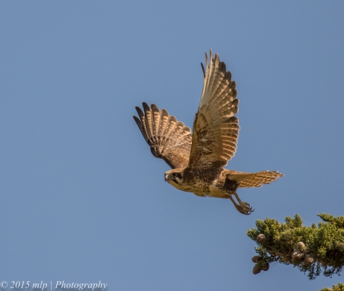 Brown Falcon, Western Treatment Plant,