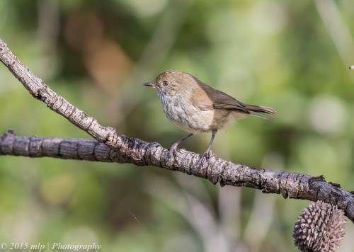 Brown Thornbill,  Elster creek