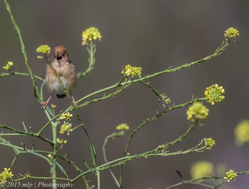 Golden Headed Cisticola, Western Treatment Plant