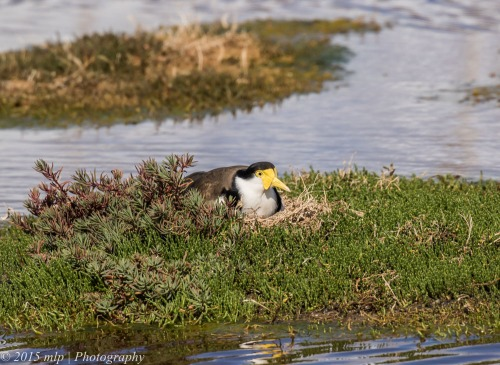 Masked Lapwing nesting, Western treatment plant