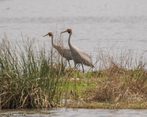 Nesting Brolga, Western treatment plant