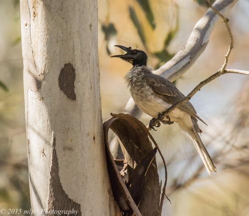 Noisy Friar Bird, Chiltern Mt Pilot National Park