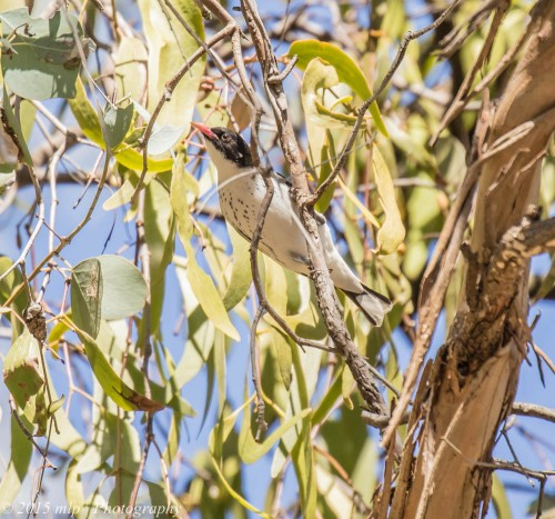 Painted Honeyeater, Chiltern Mt Pilot National Park