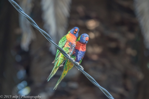 Rainbow Lorikeet, Elster creek